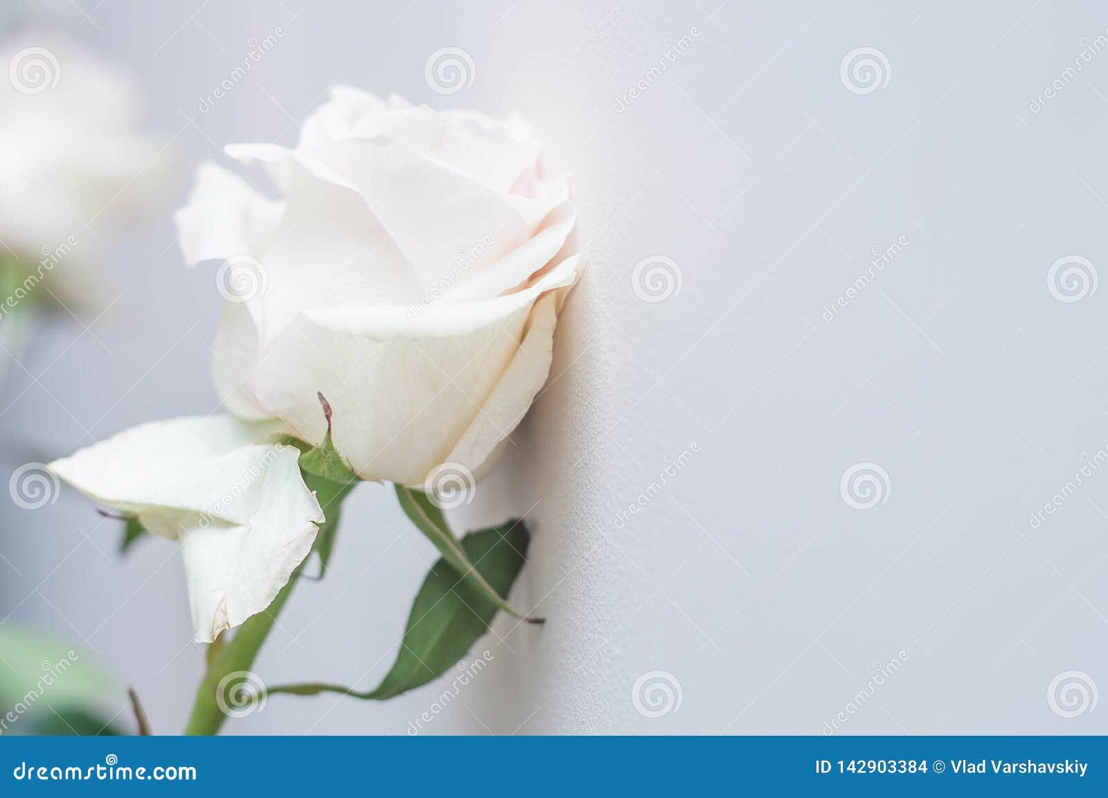 En vit rosa blomma som skalar över en vit vägg som ett symbol av dåliga förhållanden, avskiljandet och den fattiga föreställninge