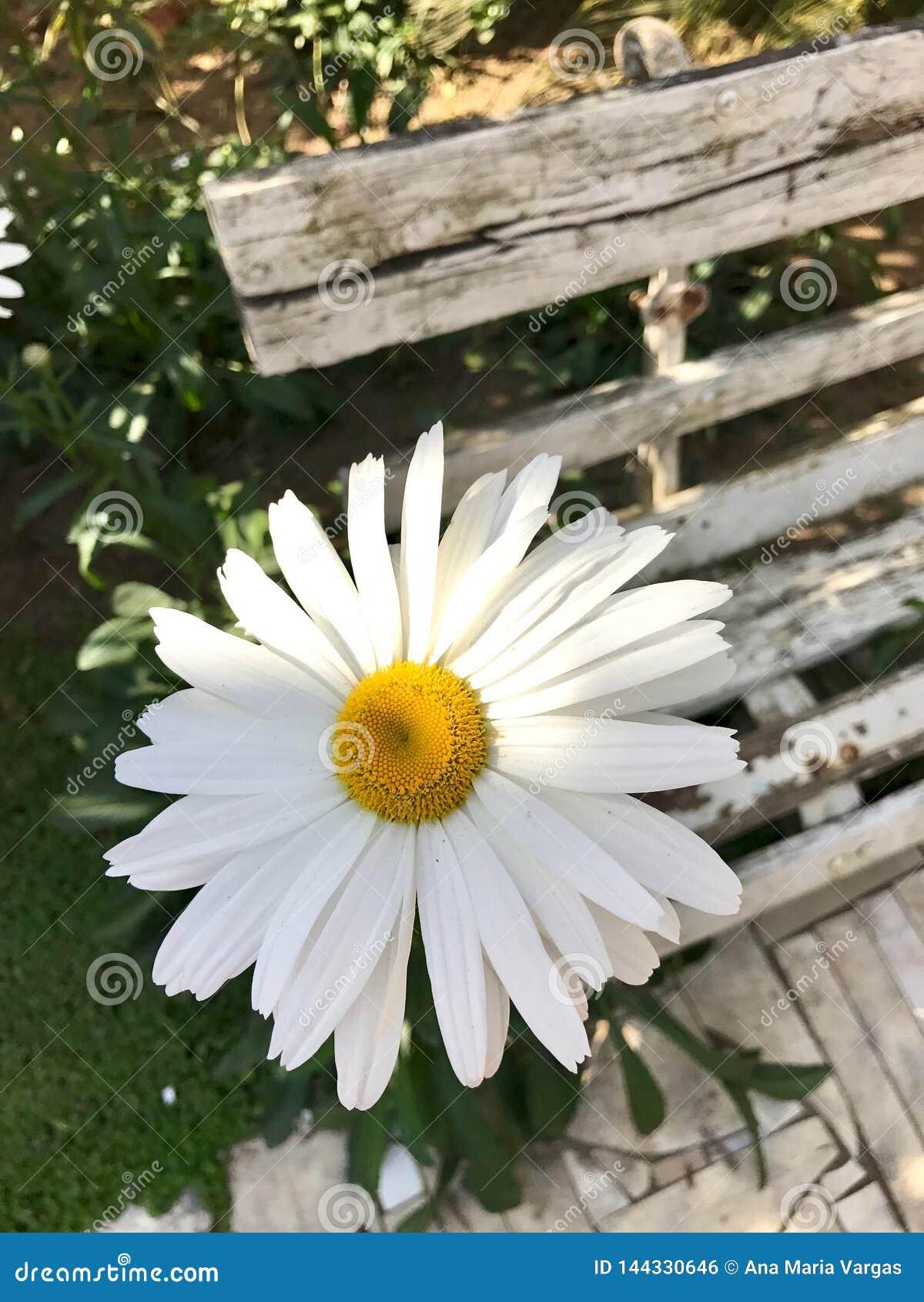 En vit tusensköna vid en gammal bänk