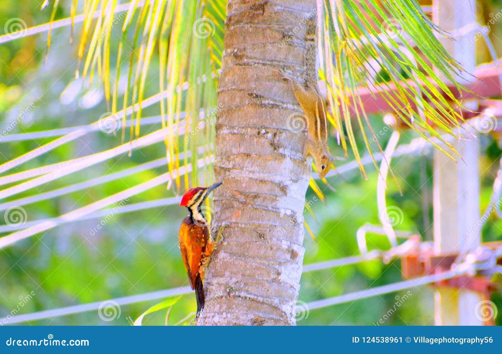 En wood hackspett och en indisk ekorre som spelar skinnet & sökande på ett träd