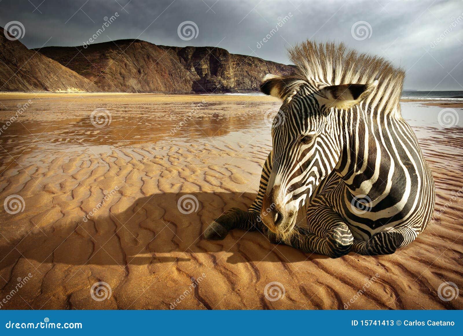 Encalhe a zebra