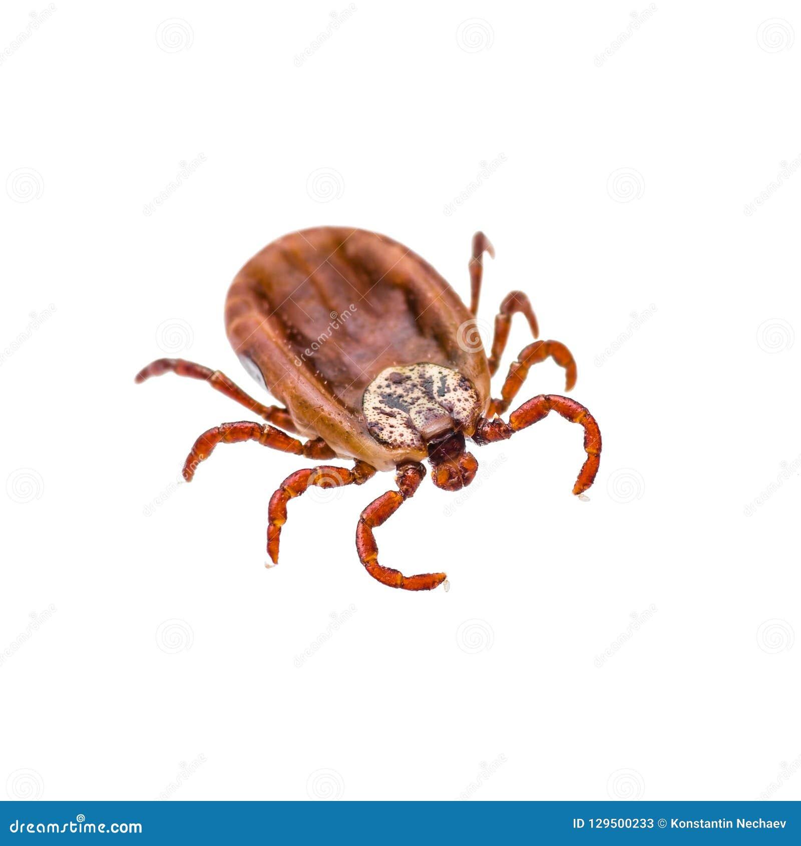 Encefalit eller den Lyme viruset smittade Tick Insect Isolated på Whit