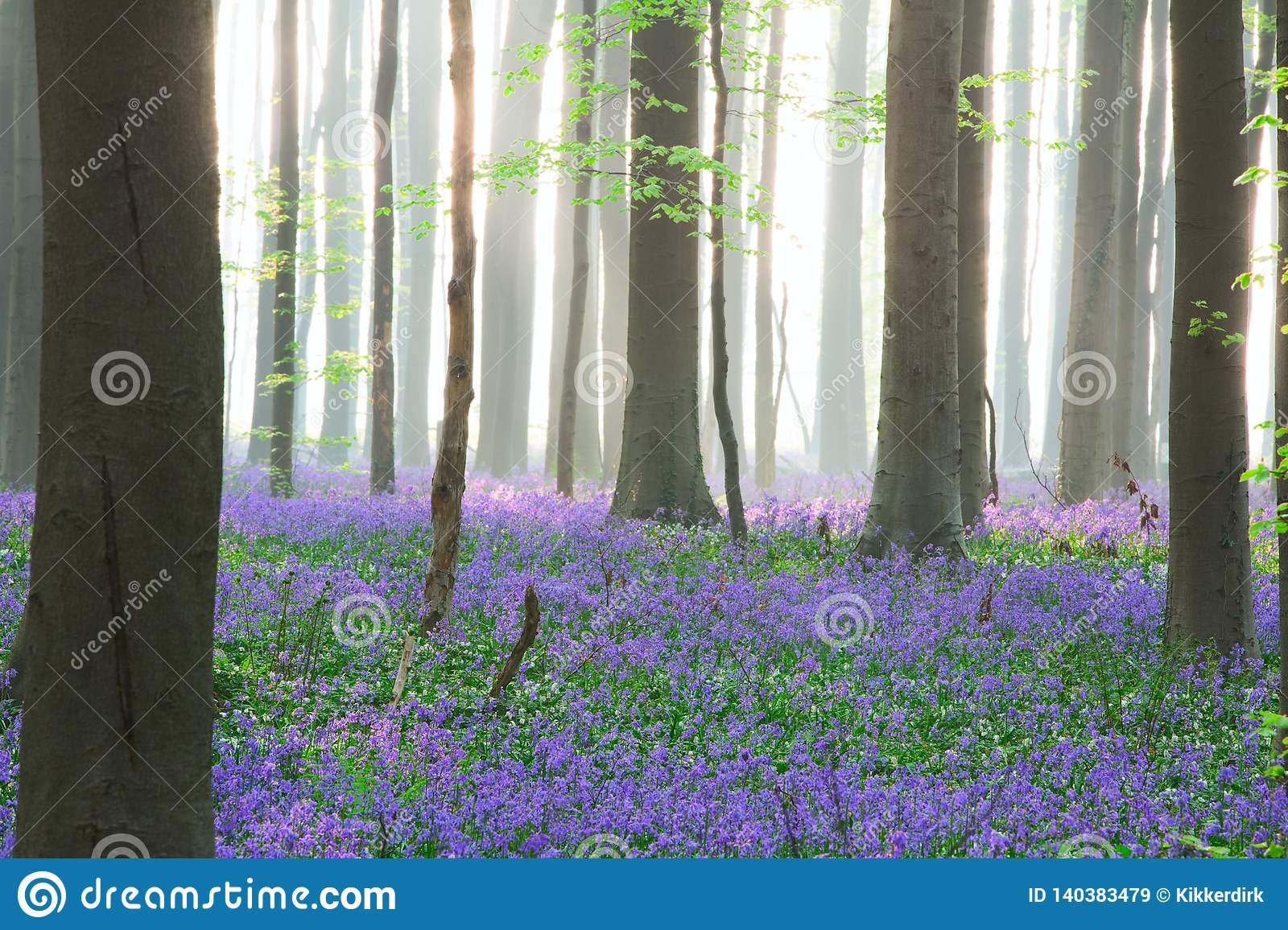 Enchanted pristine spring beech forest with a wild flower carpet of bluebells