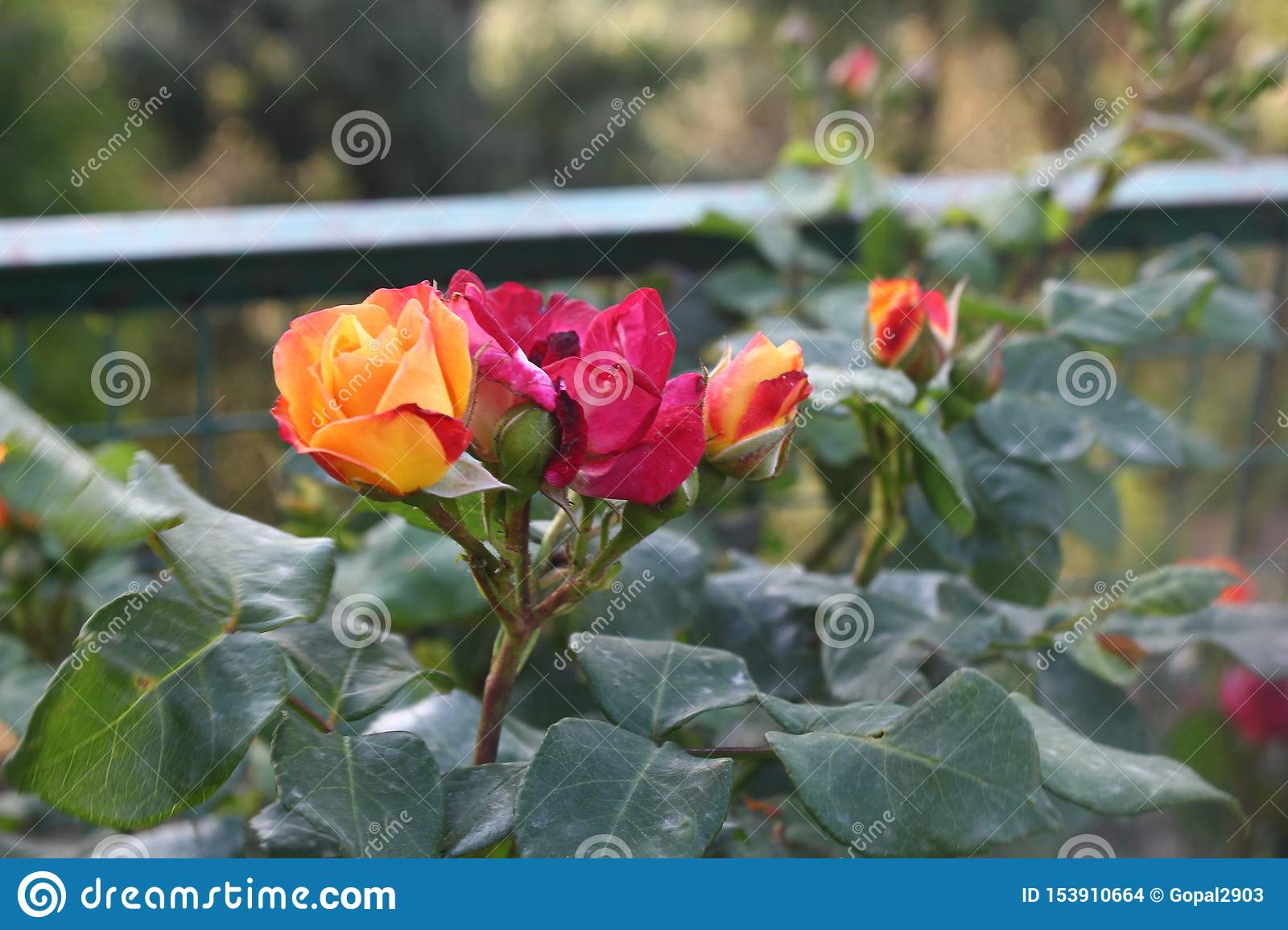 Enchanting colorful flower and bud