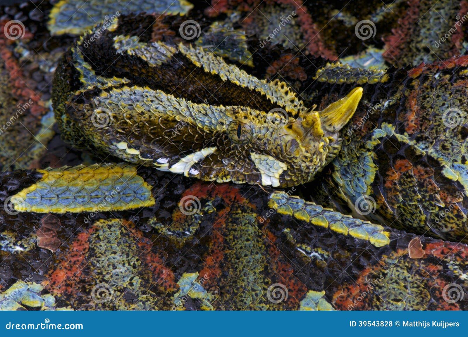 Enchufe del río/nasicornis del Bitis
