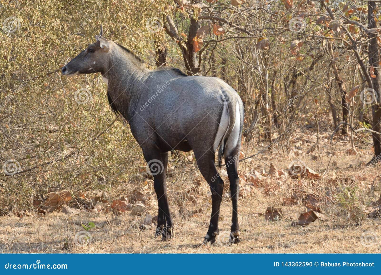 Encontro com o nilgai do touro azul