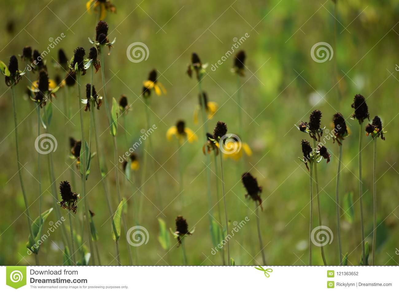 End Of The Flowers In East Texas In May 2018 Stock Photo Image Of