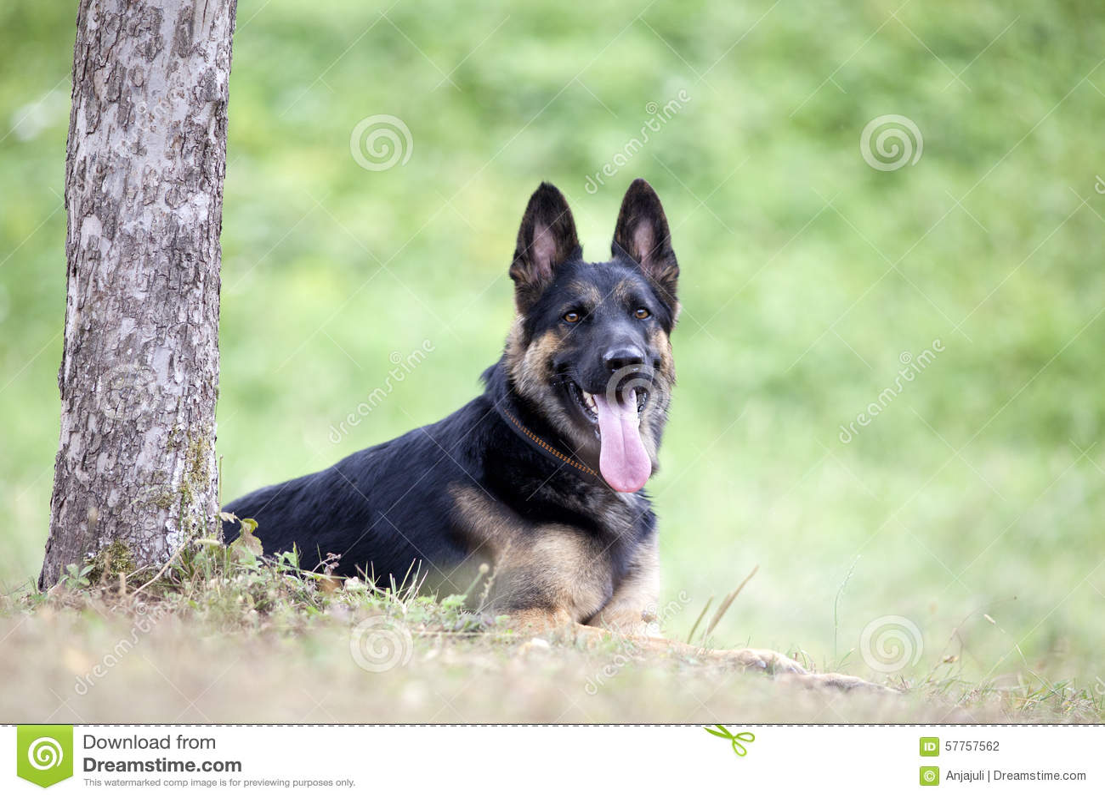 Endecha del perro de Shepard del alemán afuera debajo del árbol
