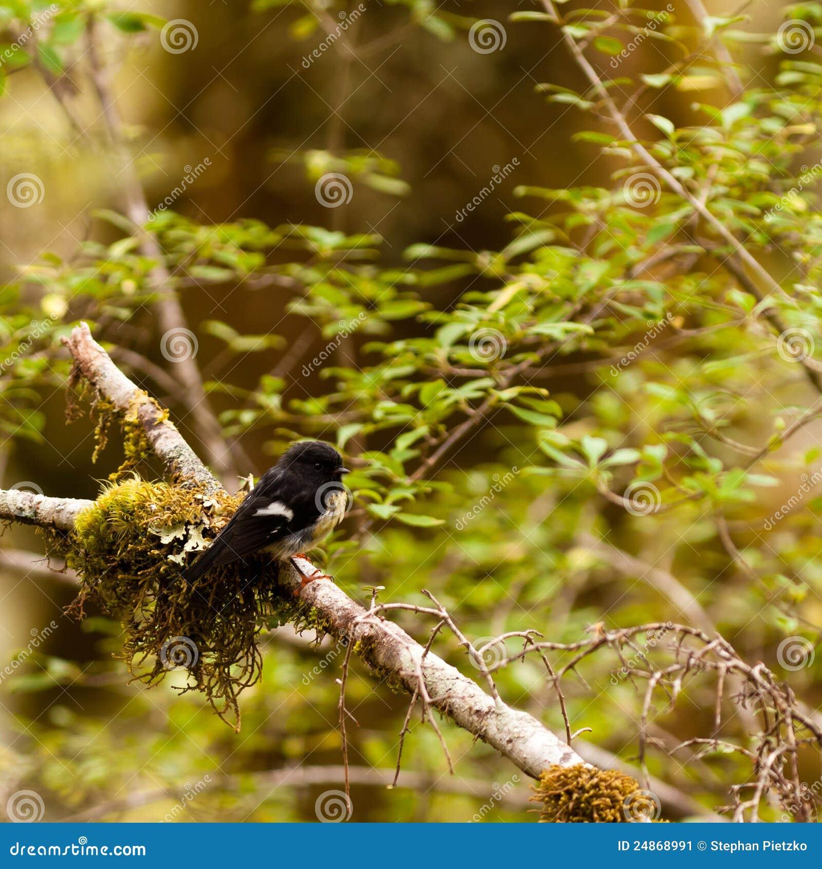 Endemic NZ bird Tomtit, Petroica macrocephala