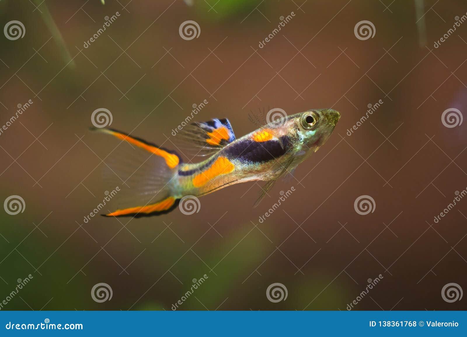 Endler do Guppy, wingei de Poecilia, peixe de água doce do aquário, masculino na coloração desovando brilhante, aquário do biótop