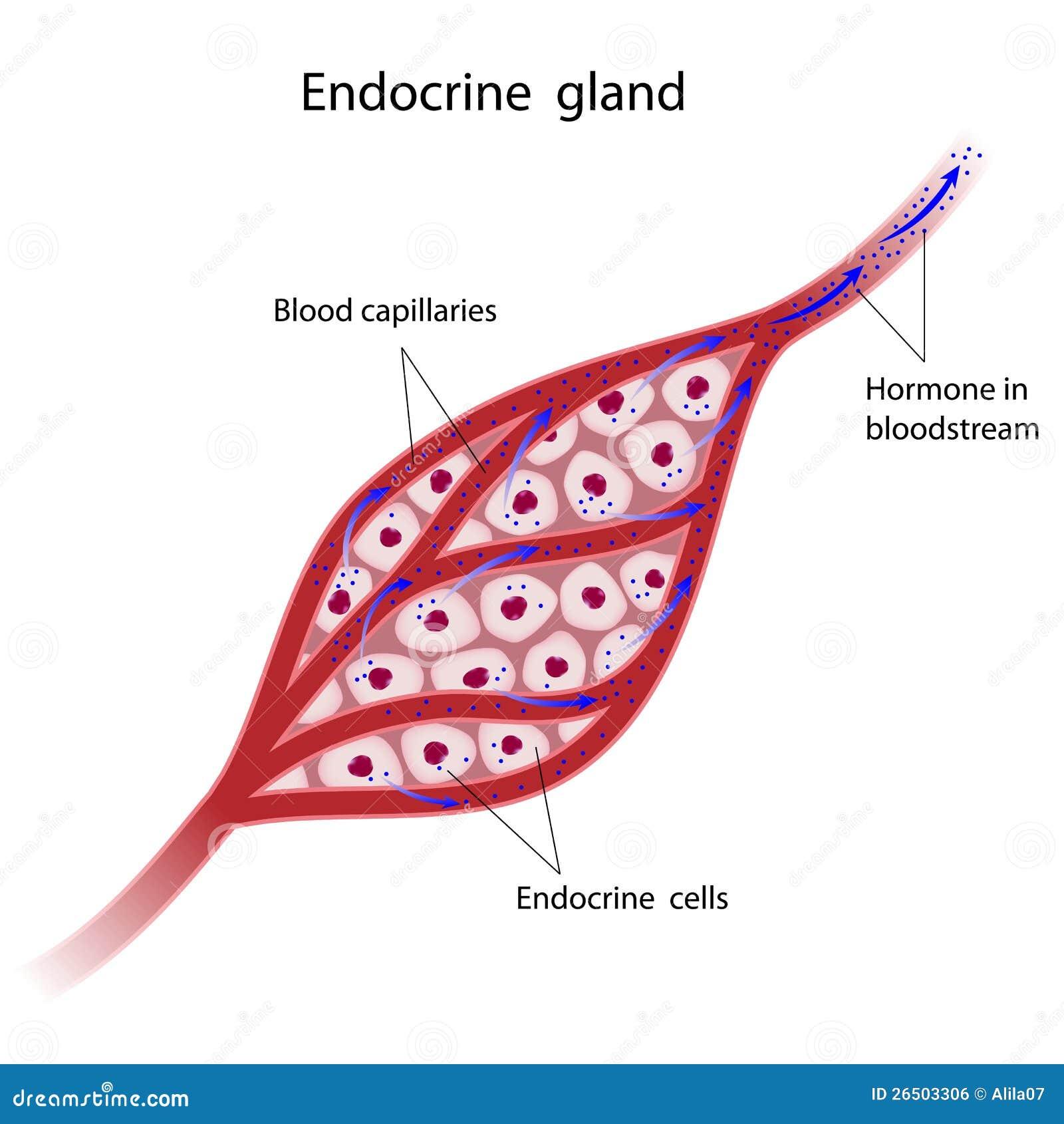 Endokrine Drüsen-Zell...