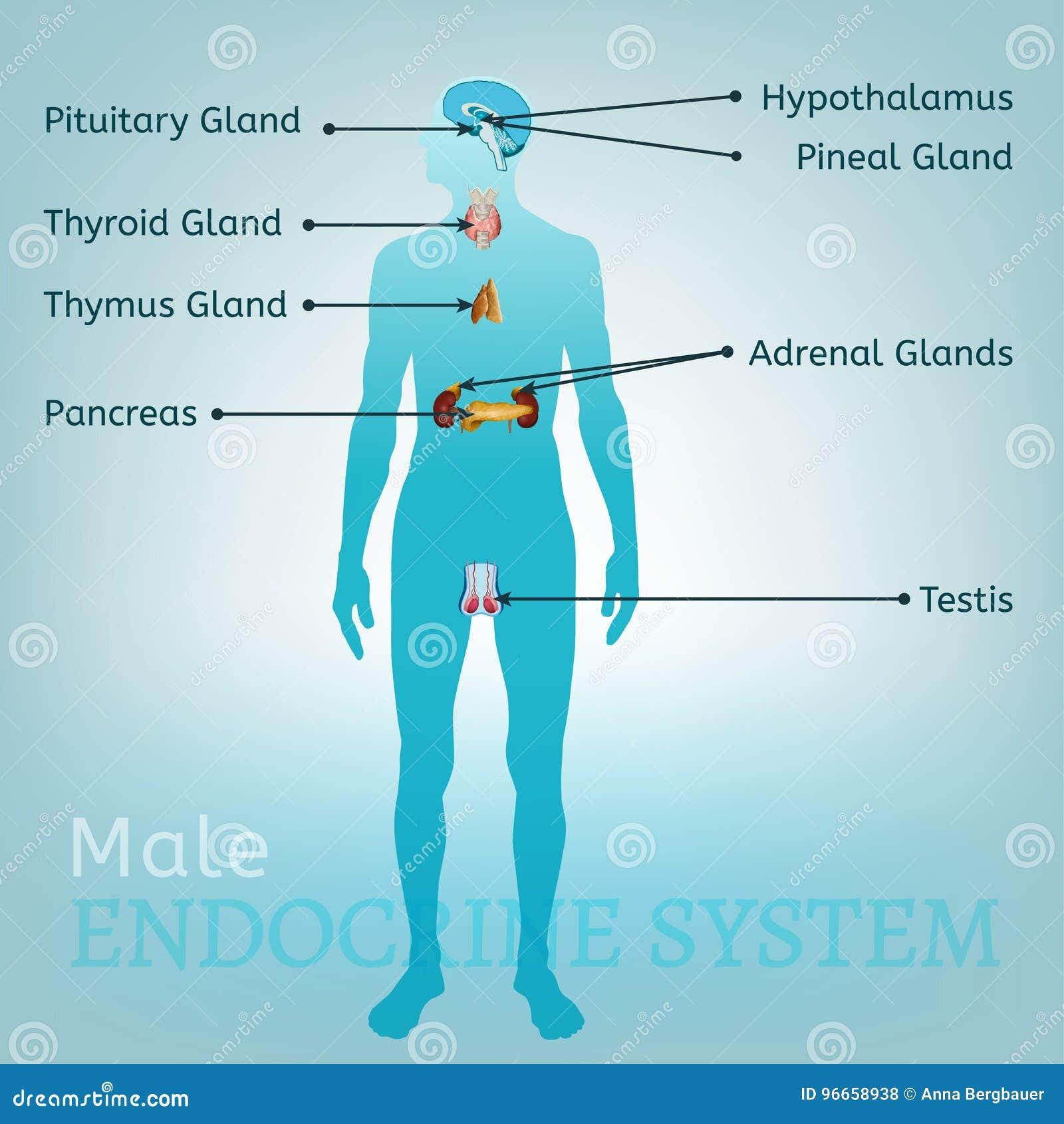 Endocrine System Image Stock Vector Illustration Of Endocrine