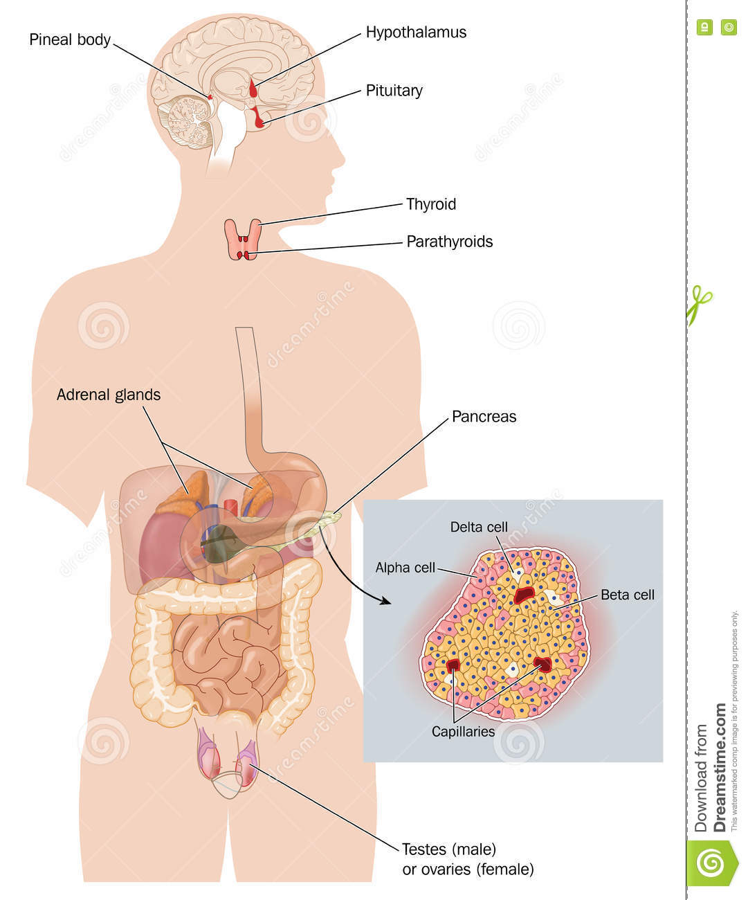 The Endocrine System Stock Illustration Illustration Of Testes