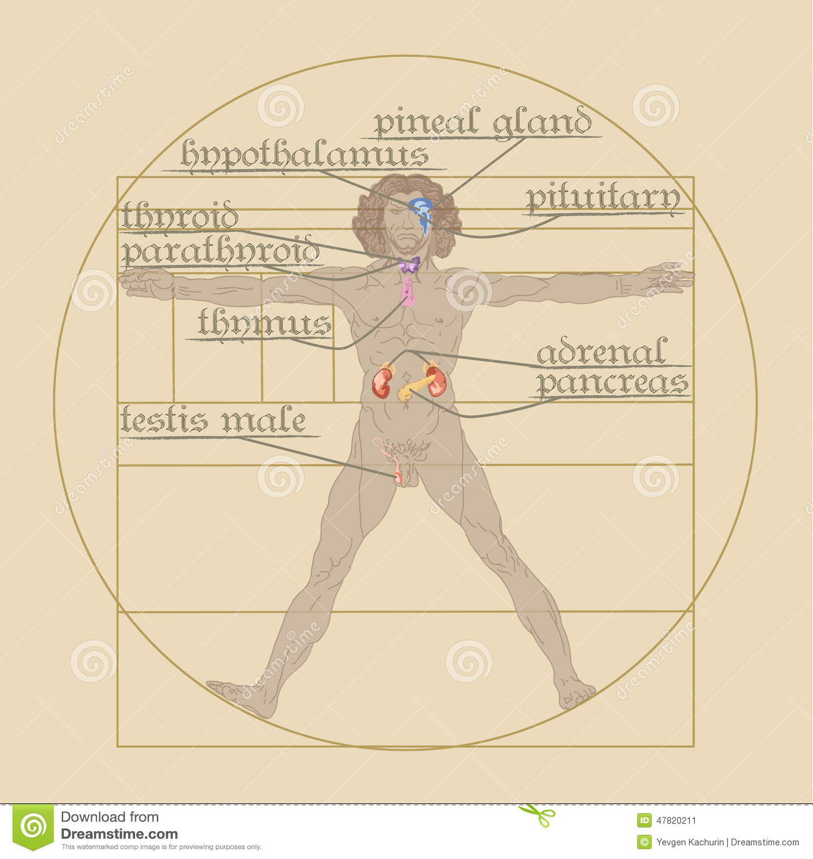 Endocrine System On The Vitruvian Man Editorial Photo Illustration