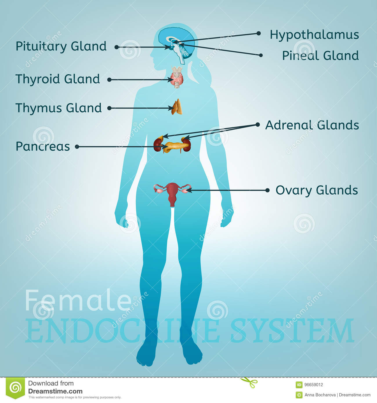 Endocrine System Woman Stock Vector Illustration Of Hormone 96659012