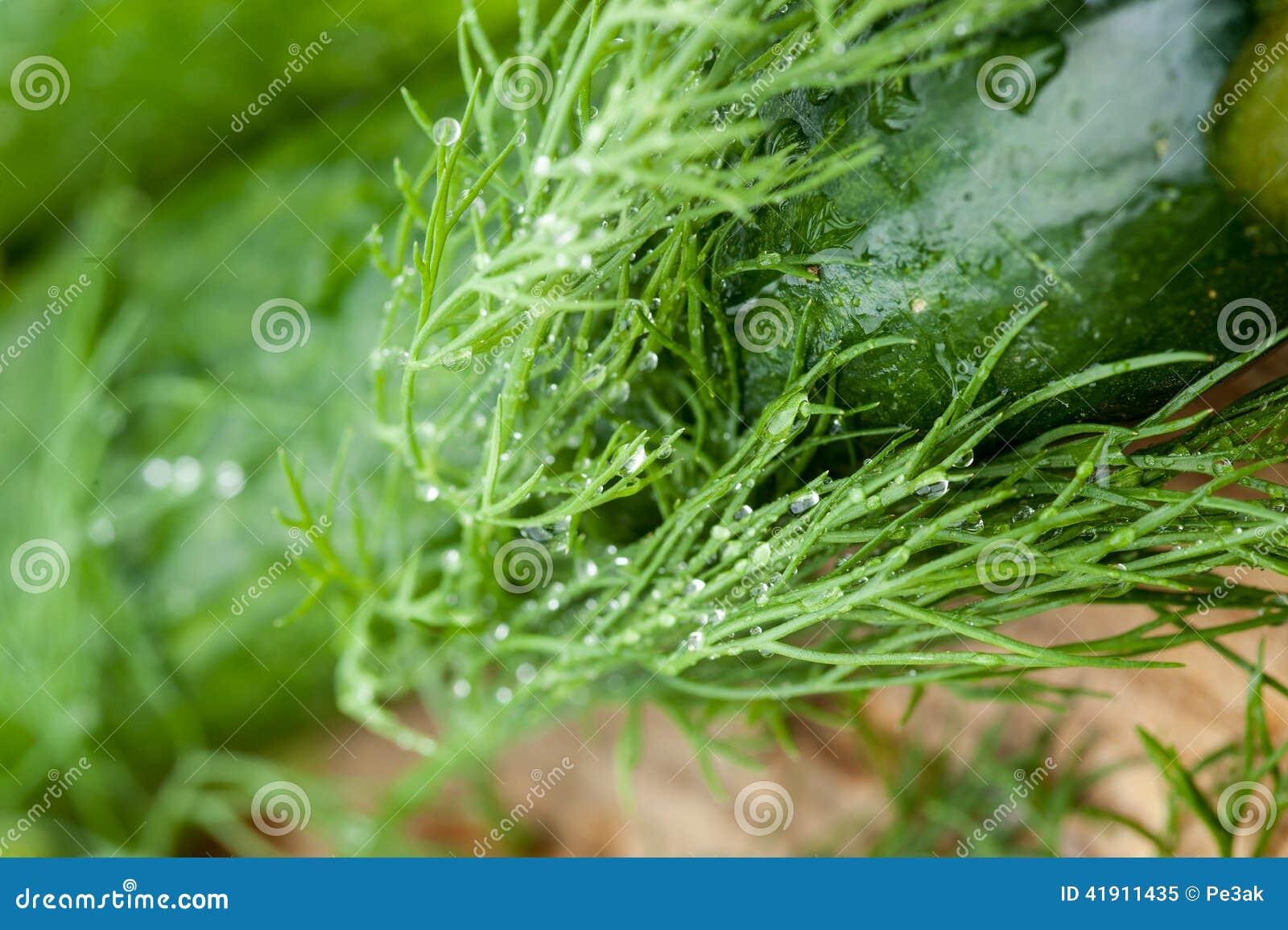 Eneldo fresco verde con descensos del agua