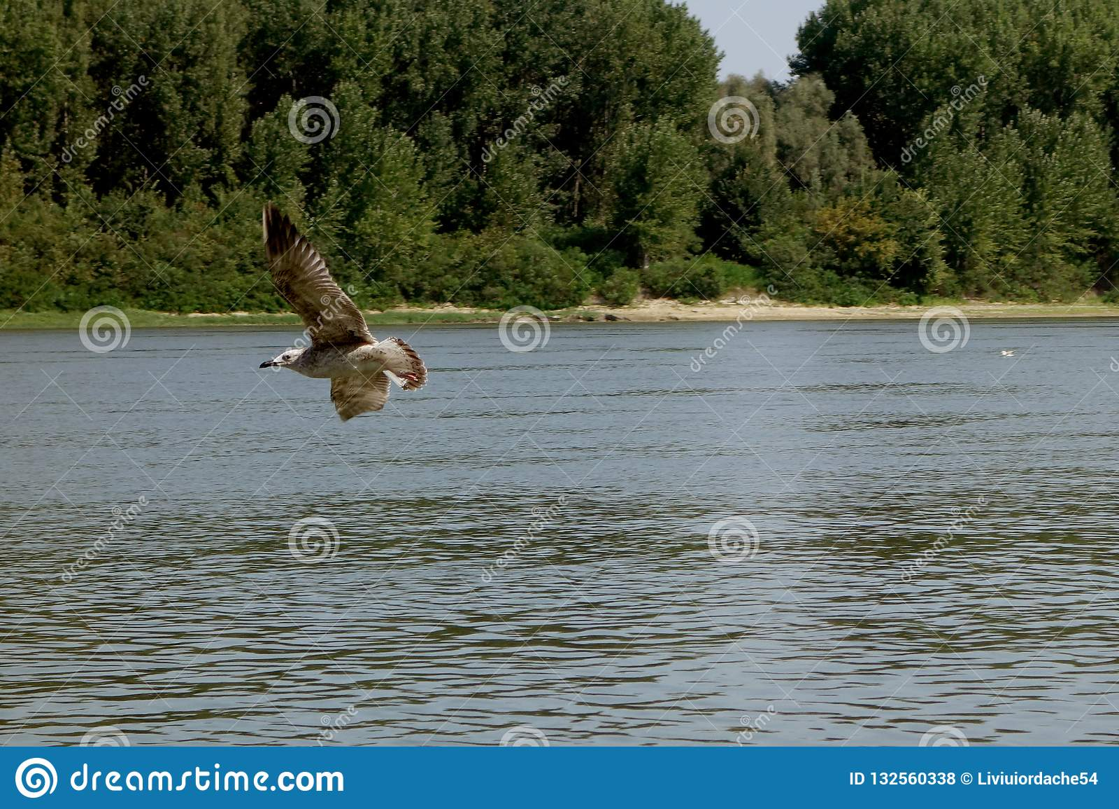 Energiczny lot seagulls jeden dzień na Danube rzece 2