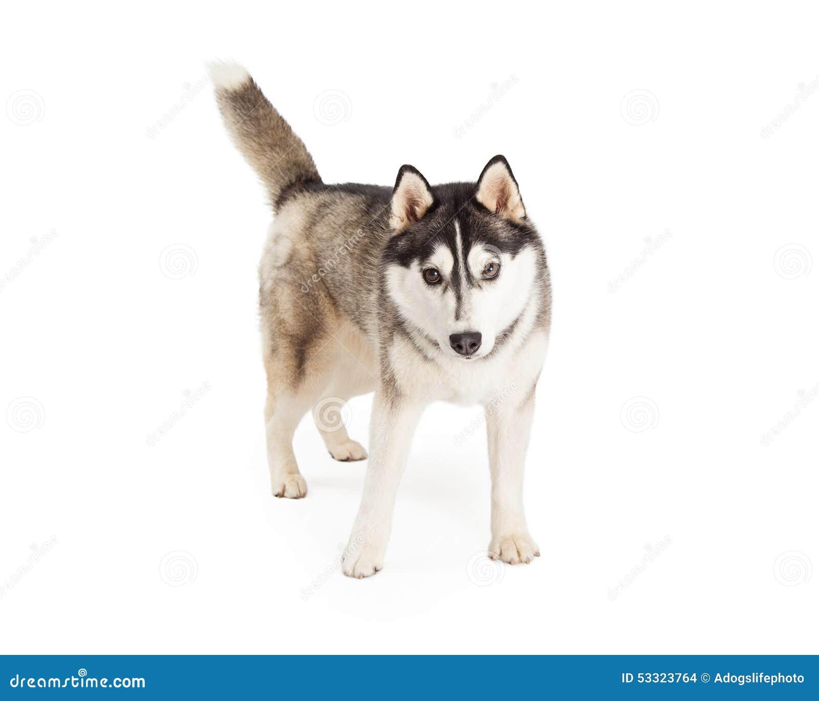 Energiczny Przyglądający Syberyjskiego husky pies