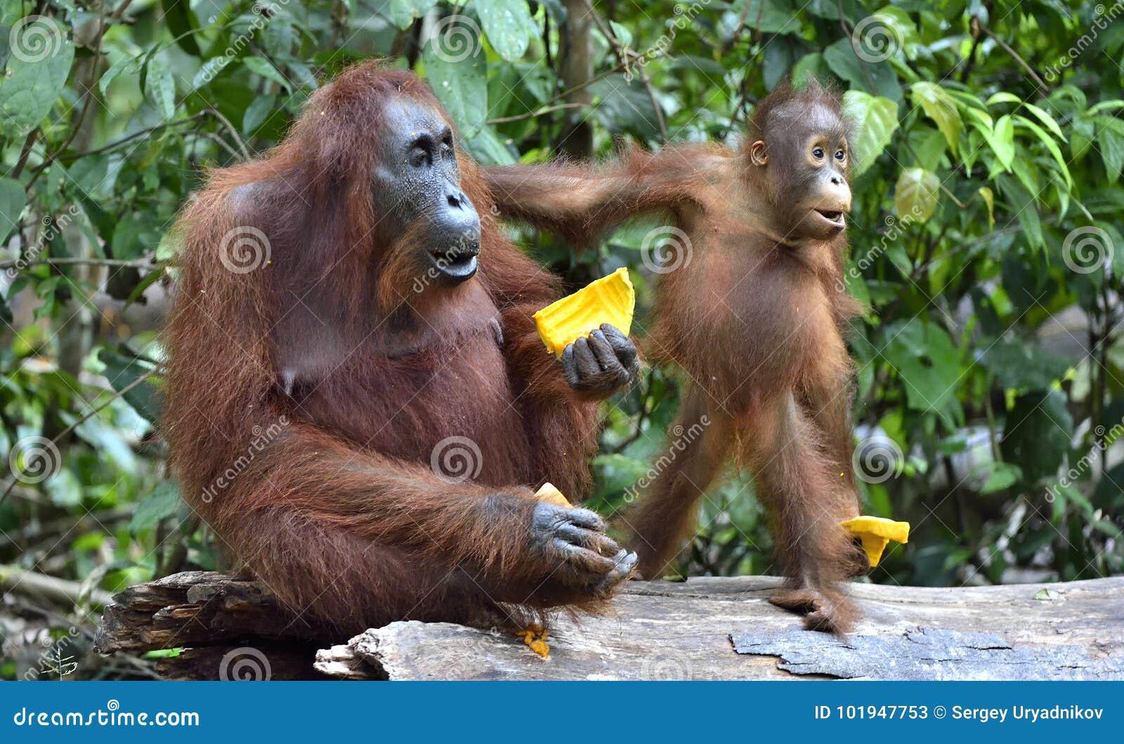 Enfantez l orang-outan et l petit animal dans un habitat naturel Wurmmbii de pygmaeus de Pongo d orang-outan de Bornean dans la n