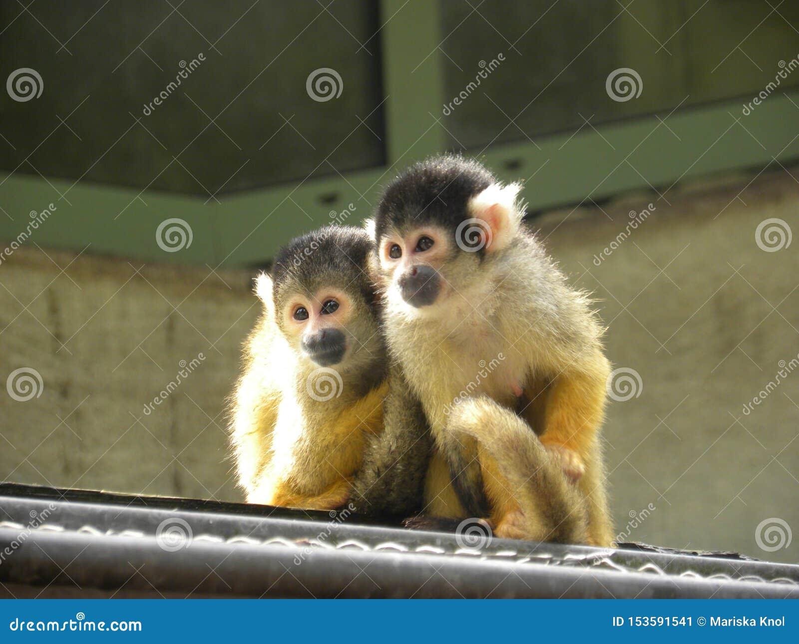 Enfants de mêmes parents de singe