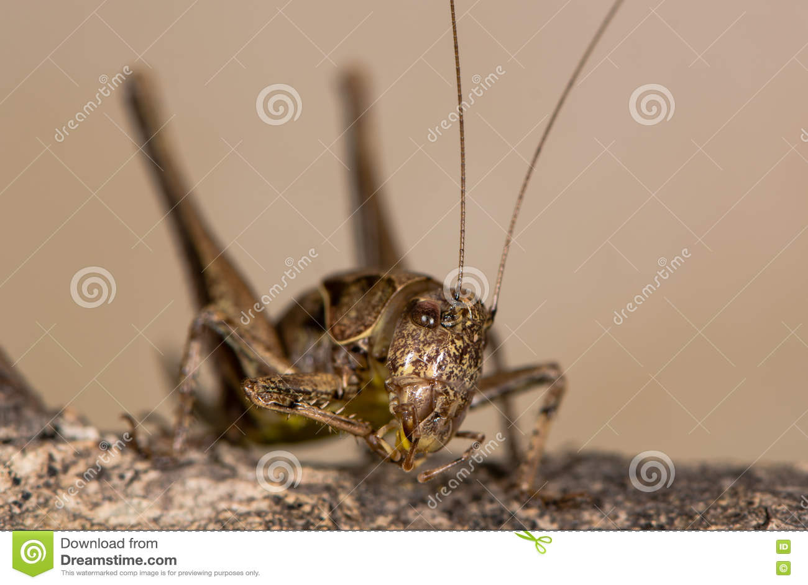 Enfeitar-se escuro do grilo do arbusto (griseoaptera de Pholidoptera)