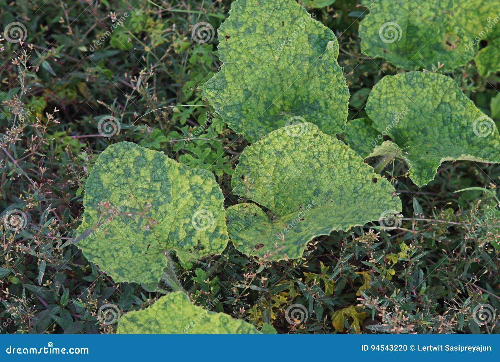 Enfermedad vegetal, enfermedad de virus en la familia del pepino
