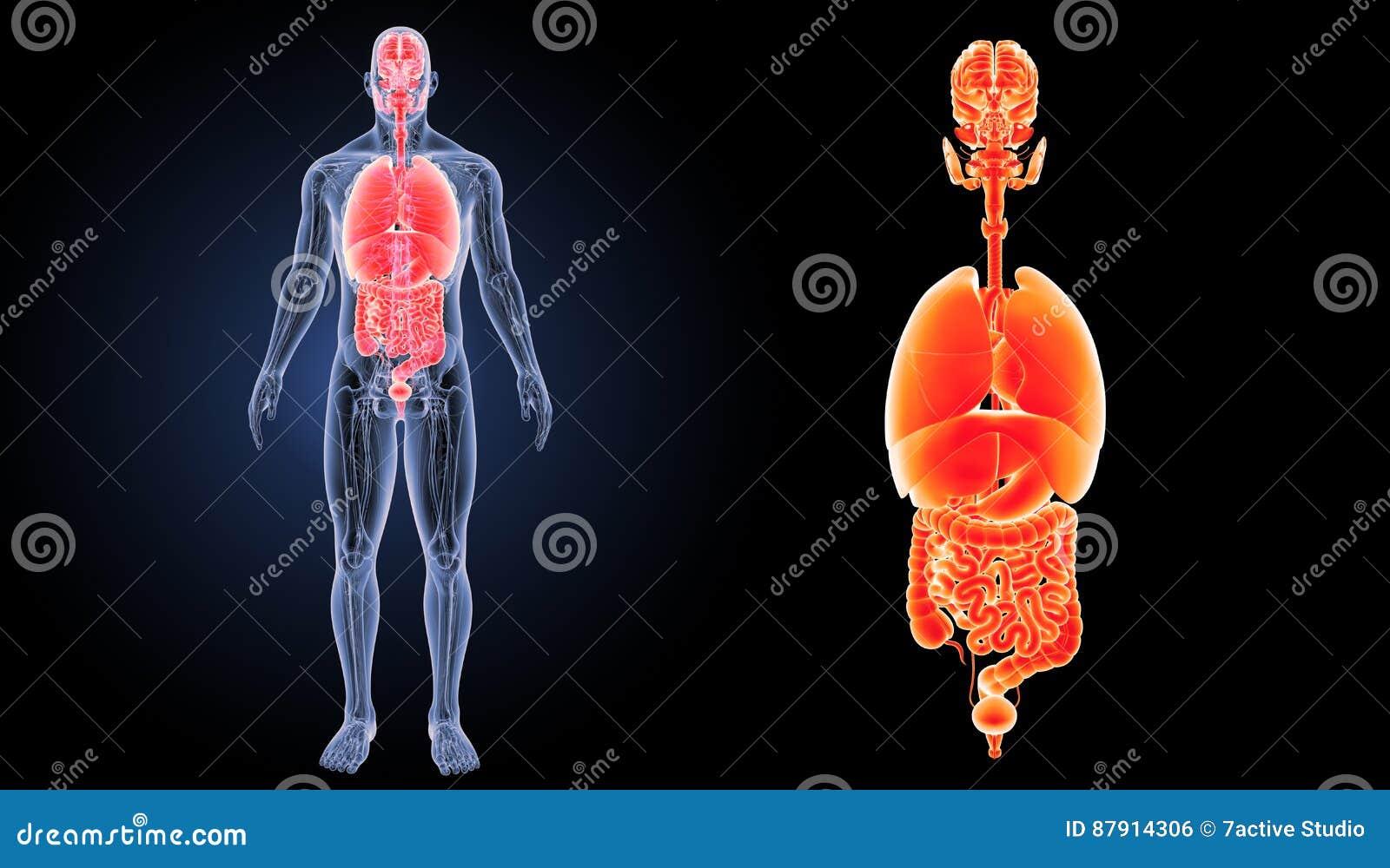 Enfoque De Los órganos Humanos Con La Opinión Anterior De La ...