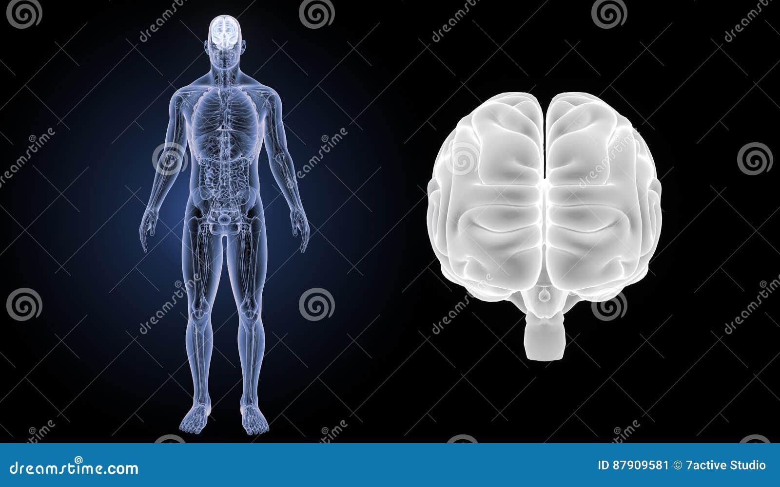 Enfoque Del Cerebro Humano Con La Opinión Anterior De La Anatomía ...