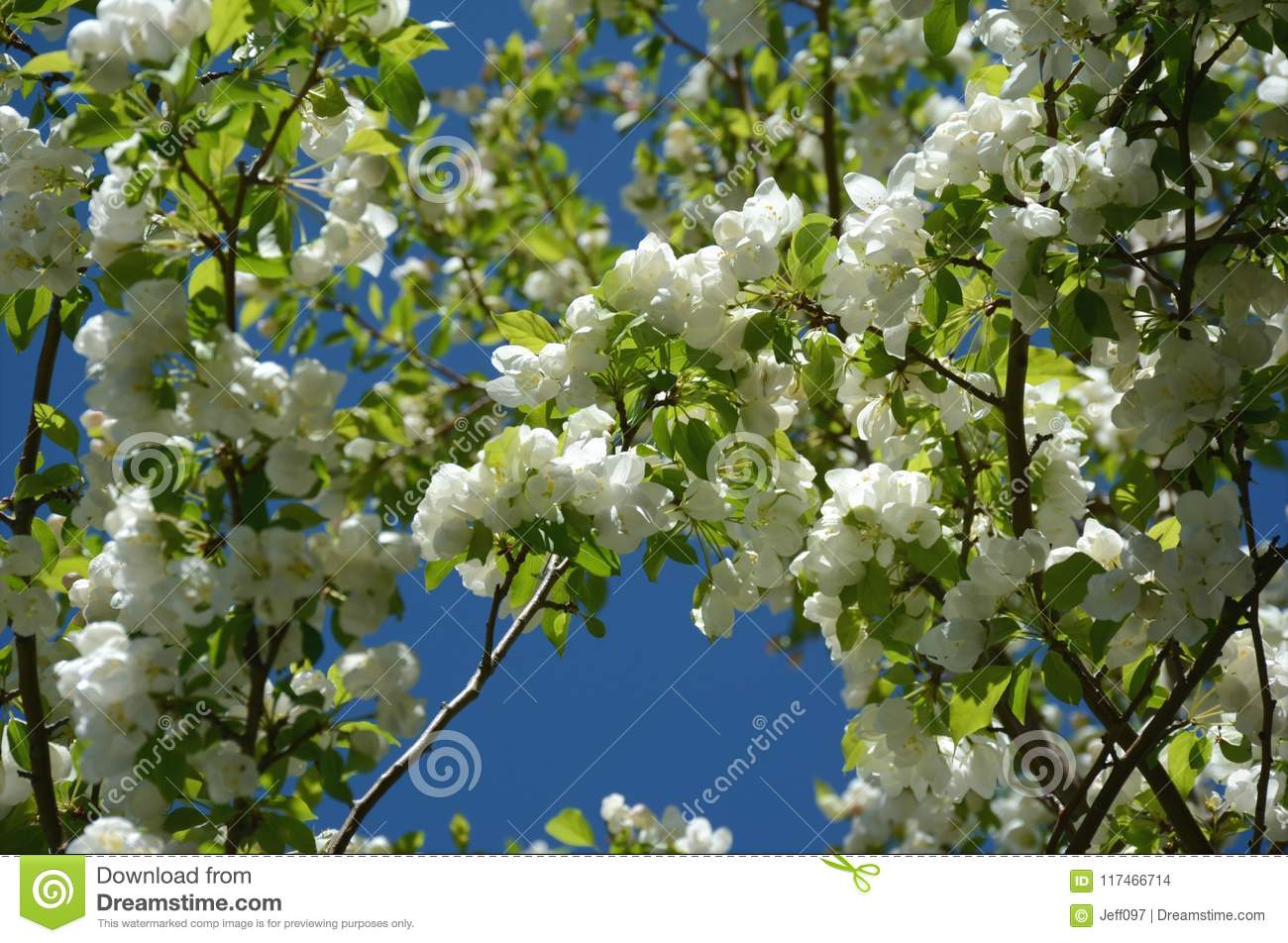 White Flowering Crabapple Blossoms Stock Photo Image Of Blossoms
