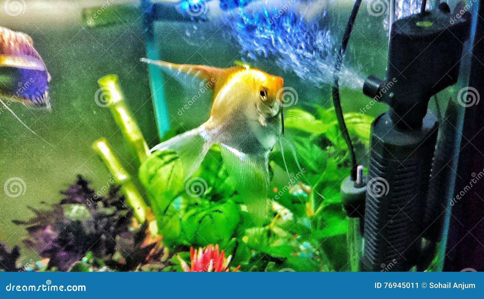 Engelenvissen in aquarium