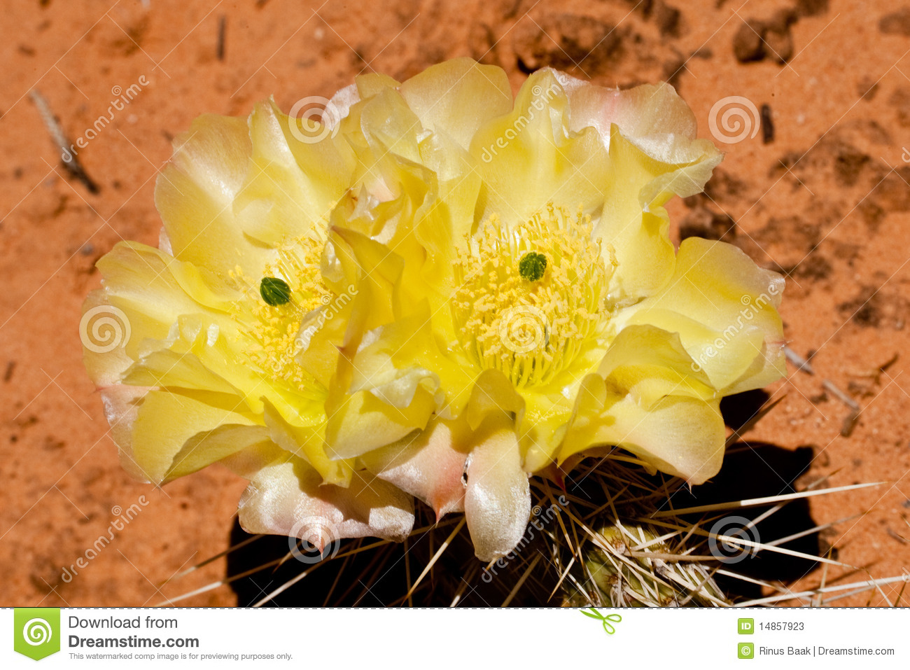 Engelman Pricklypear