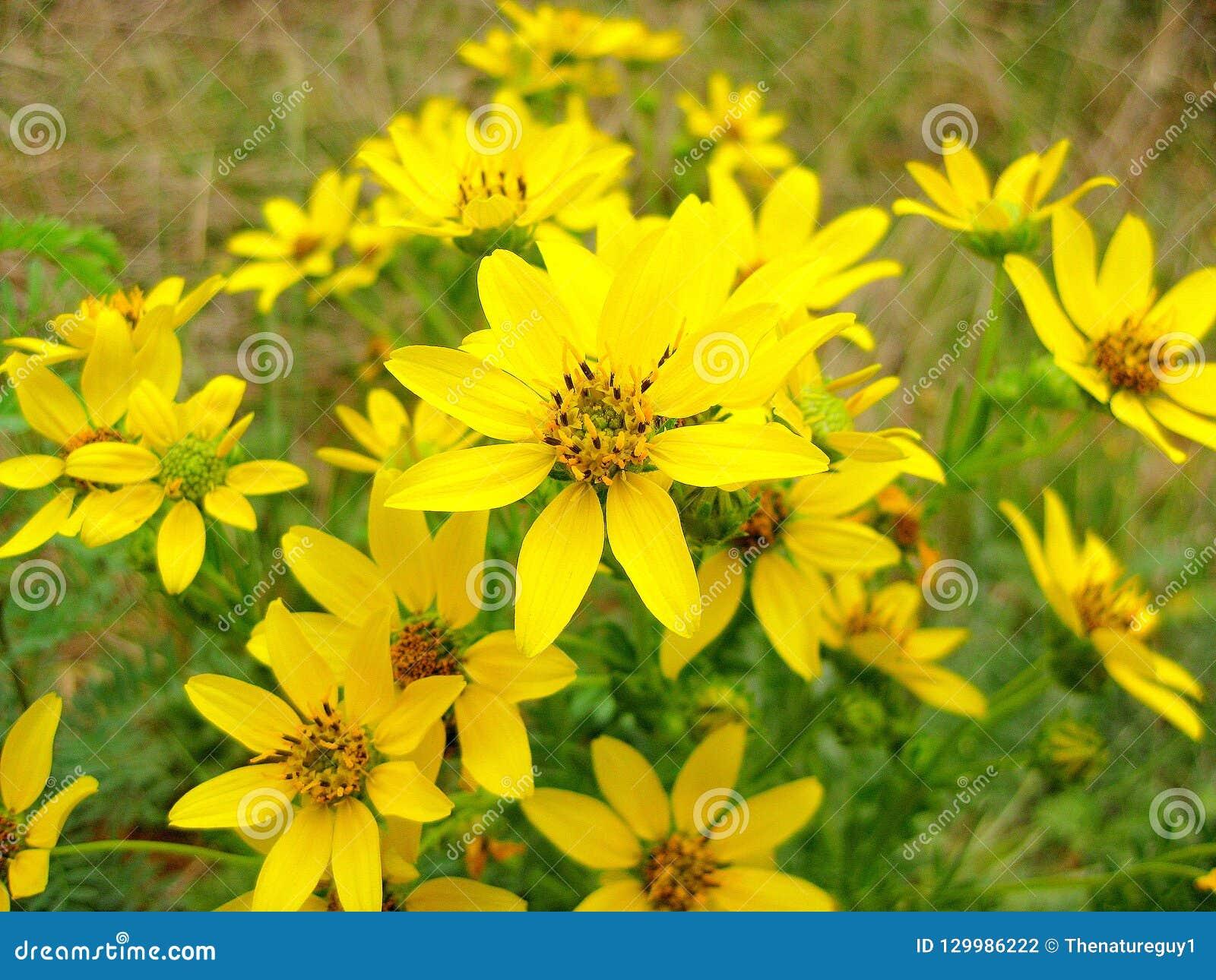 Engelmann stokrotki Wildflowers, Engelmann stokrotka, Cutleaf stokrotka