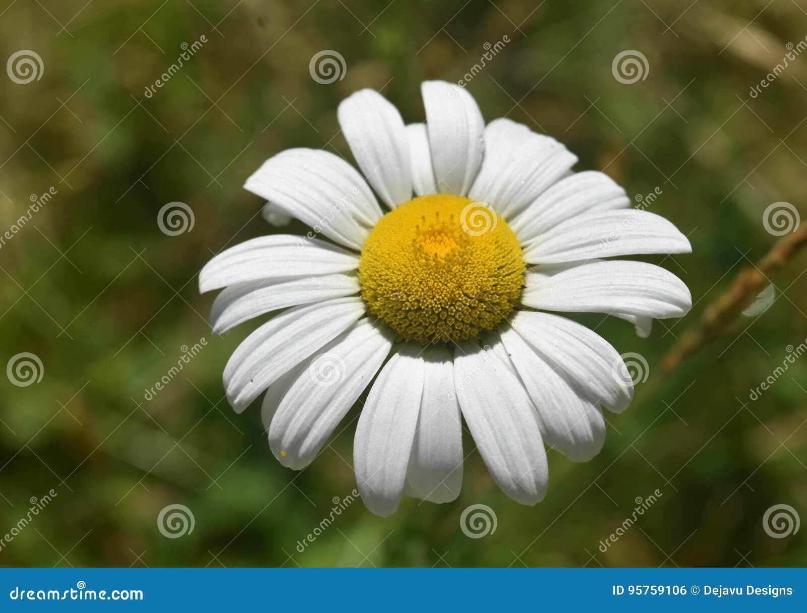 Engels Gazon Daisy Flowering op een de Zomerdag
