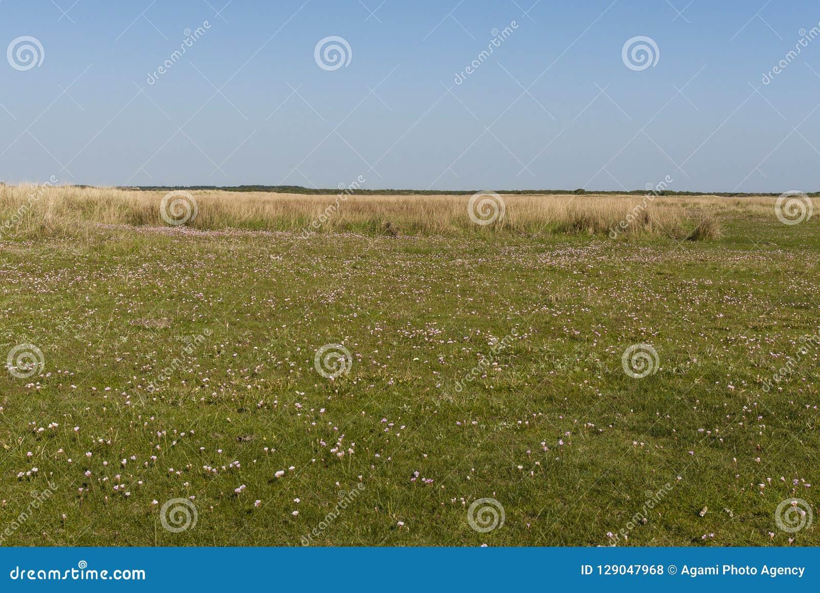 Engels gras, sparsamhet, Armeriamaritima