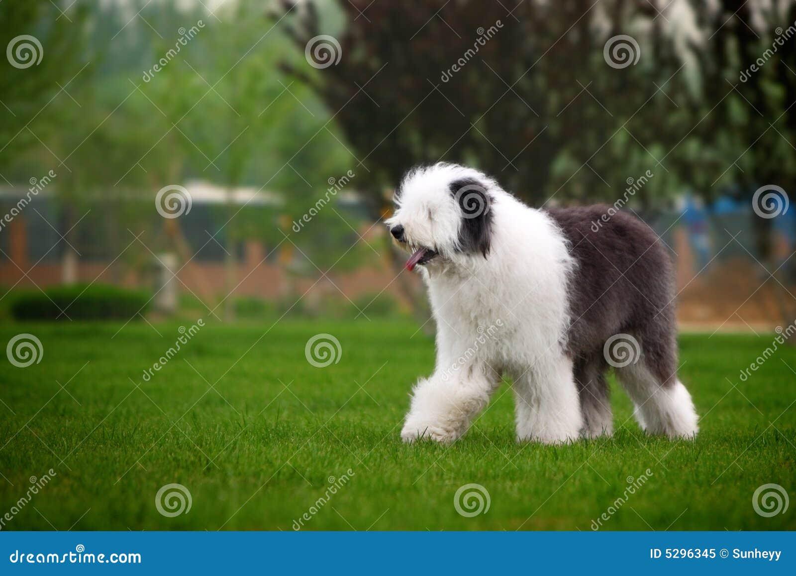 Engelse oude herdershond