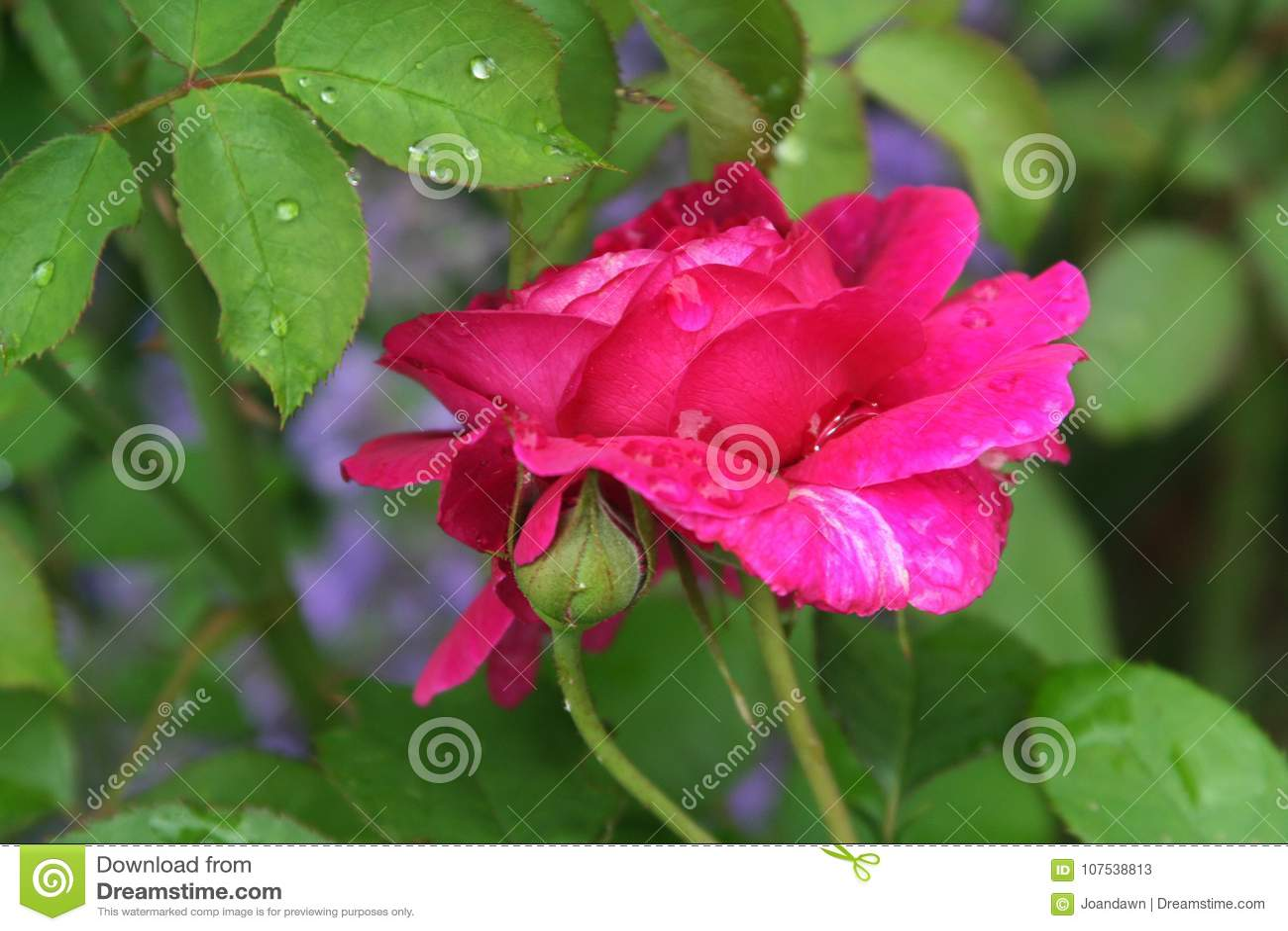 Engelse Rose Garden