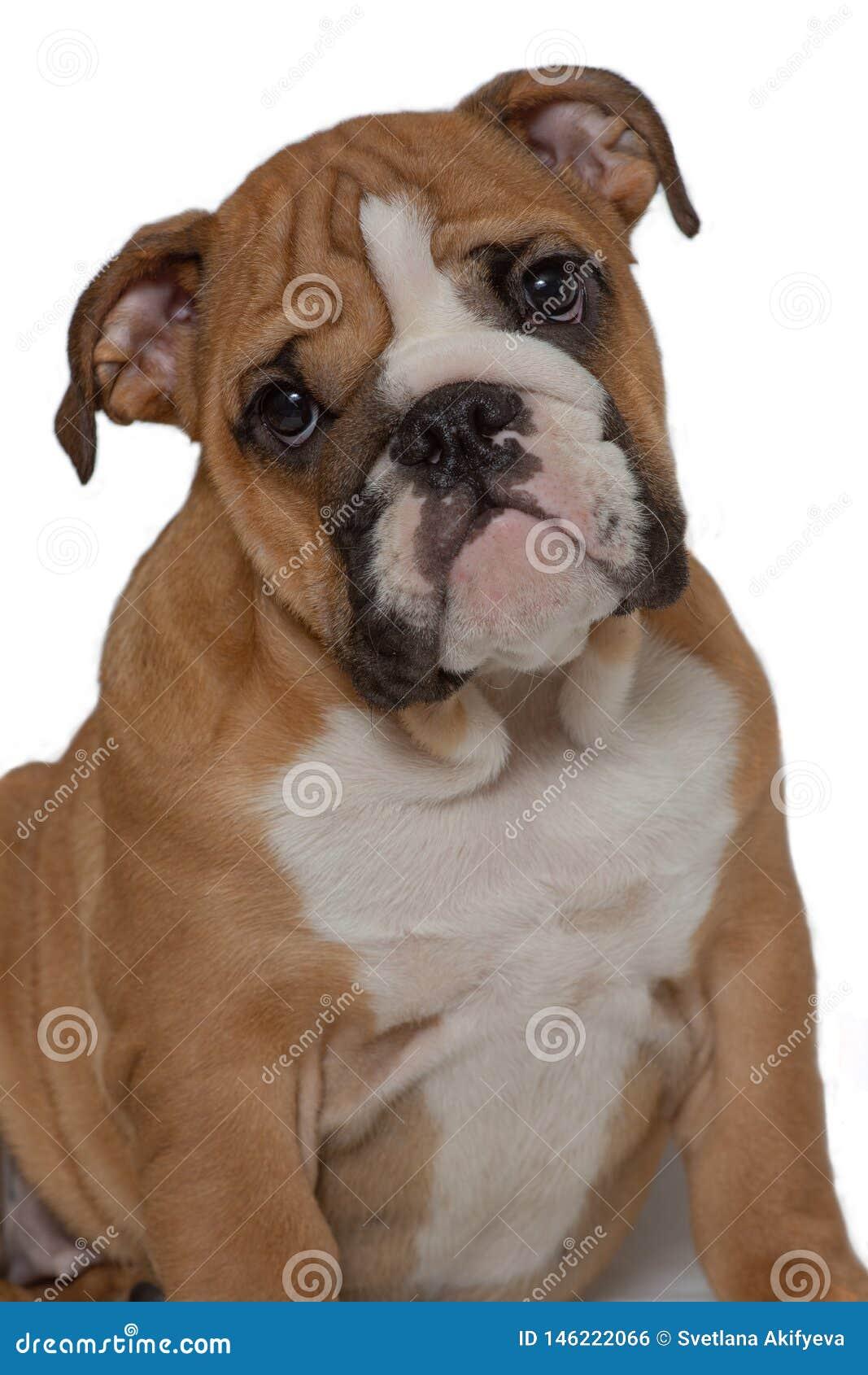 Engelsk bulldogg, 5 gamla som månader sitter på vit bakgrund och framåtriktat ser
