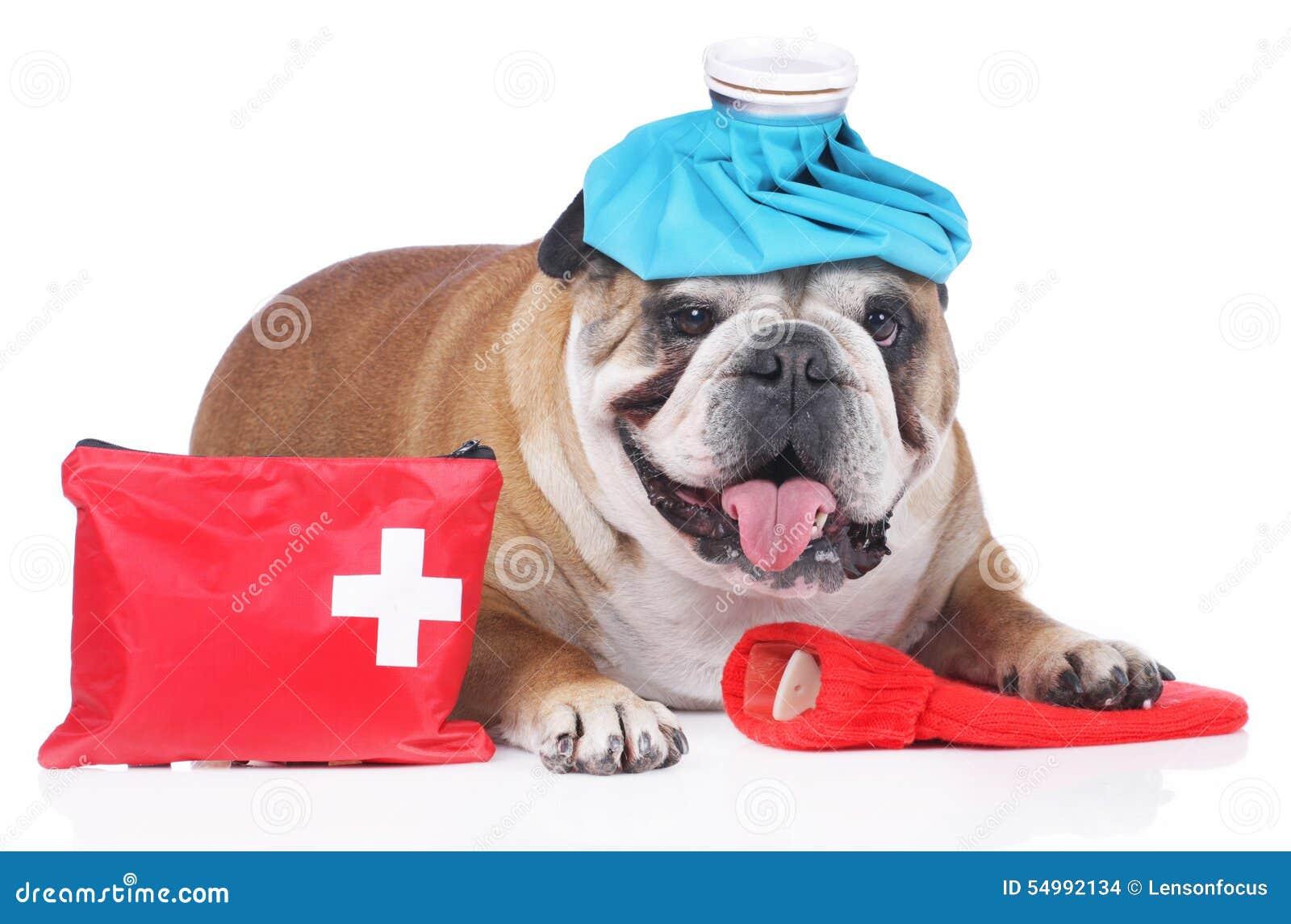 Engelsk bulldogg med den nöd- satsen