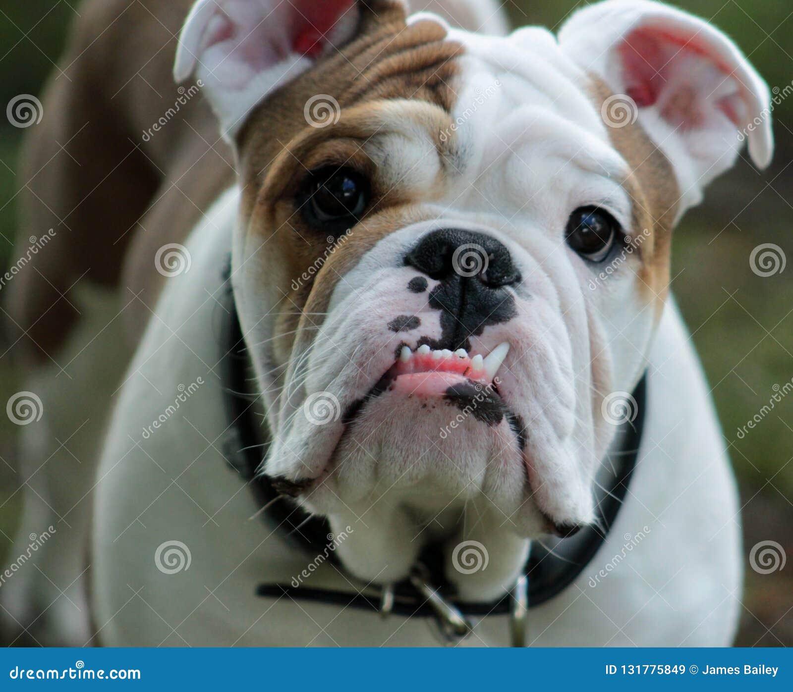 Engelsk bulldoggframsida