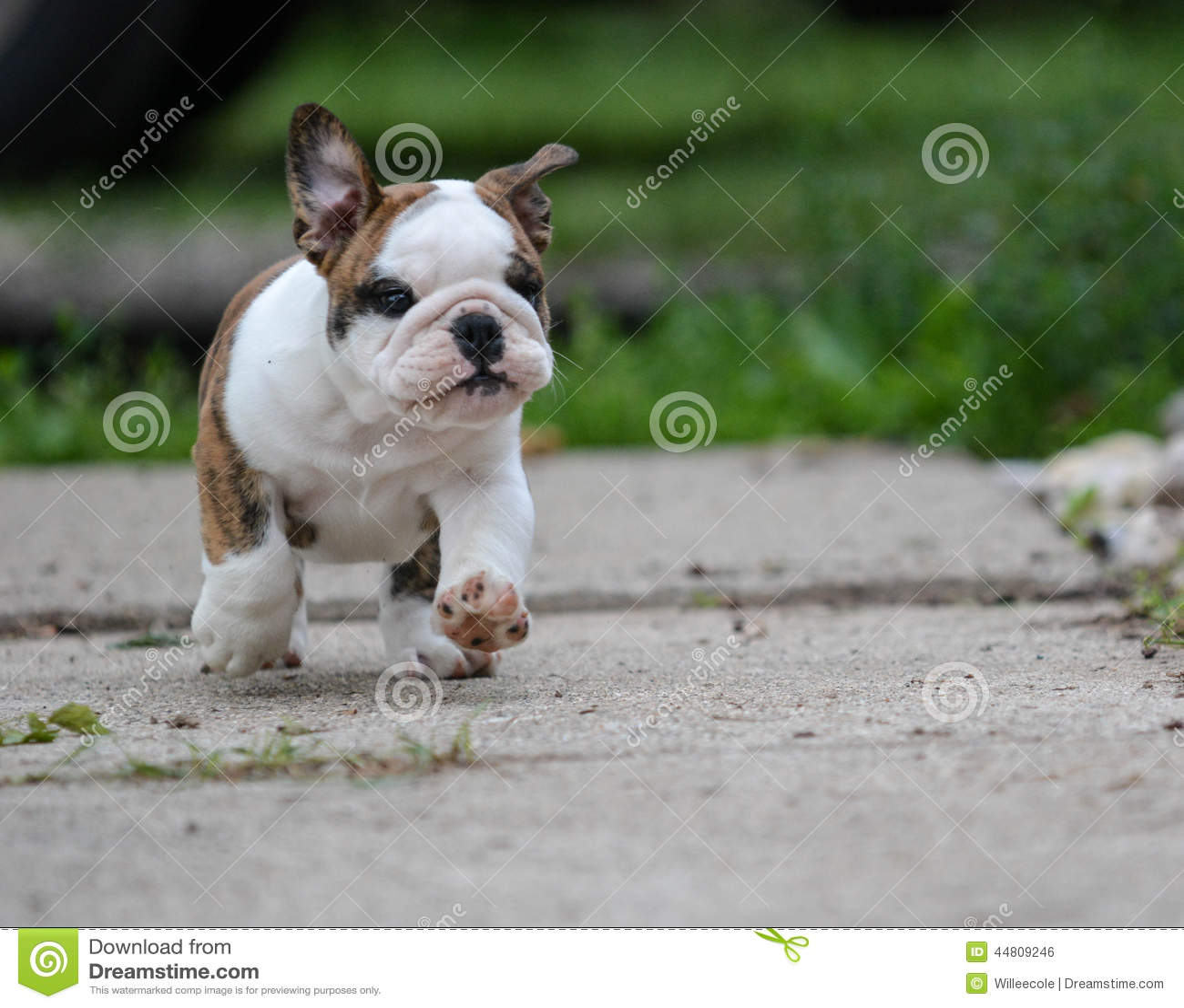 Engelsk bulldoggvalp