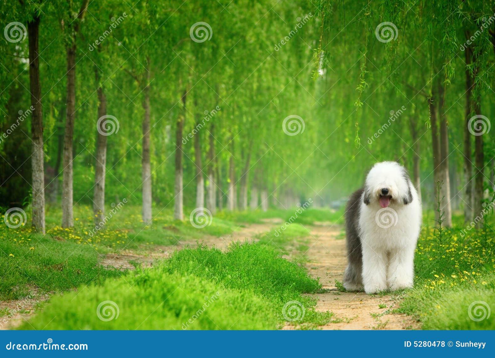 Engelsk gammal sheepdog