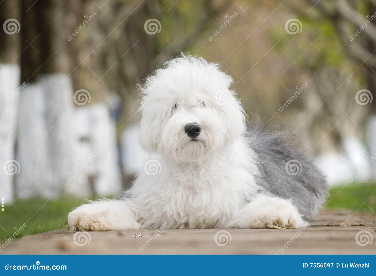 Engelsk gammal sheepdog för hund