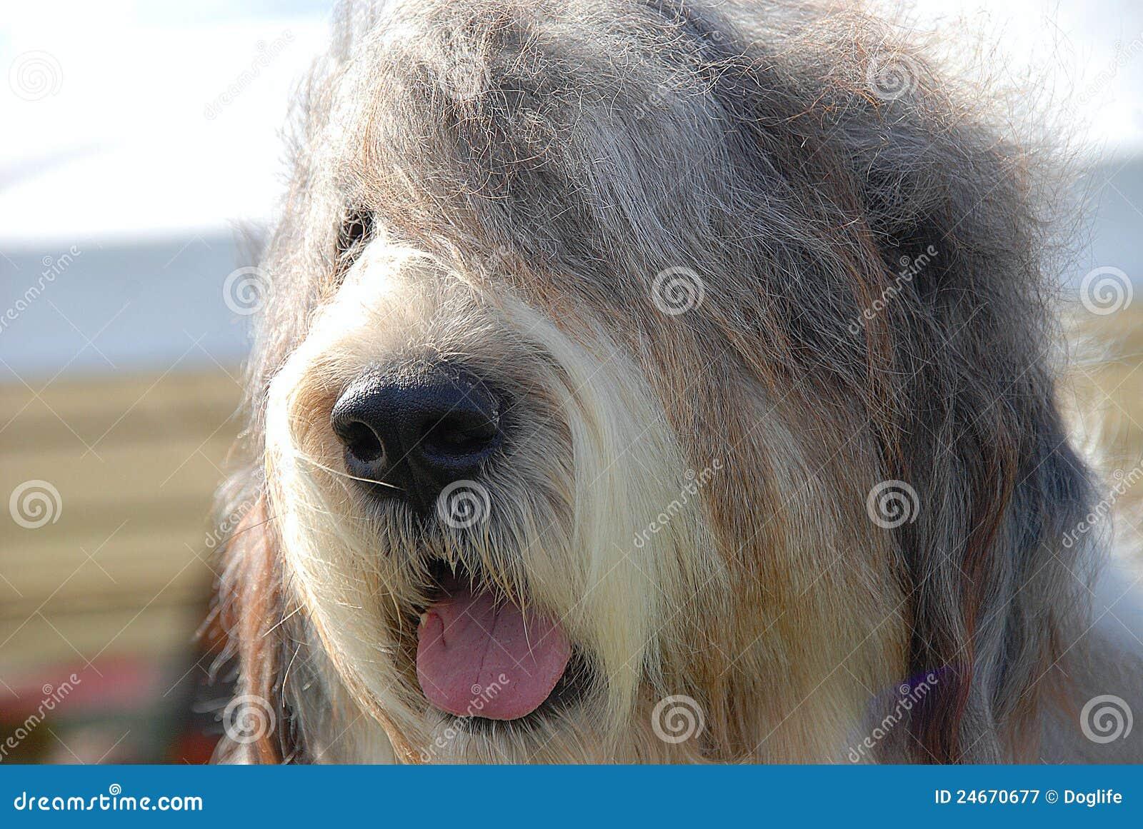 Engelsk sheepdog