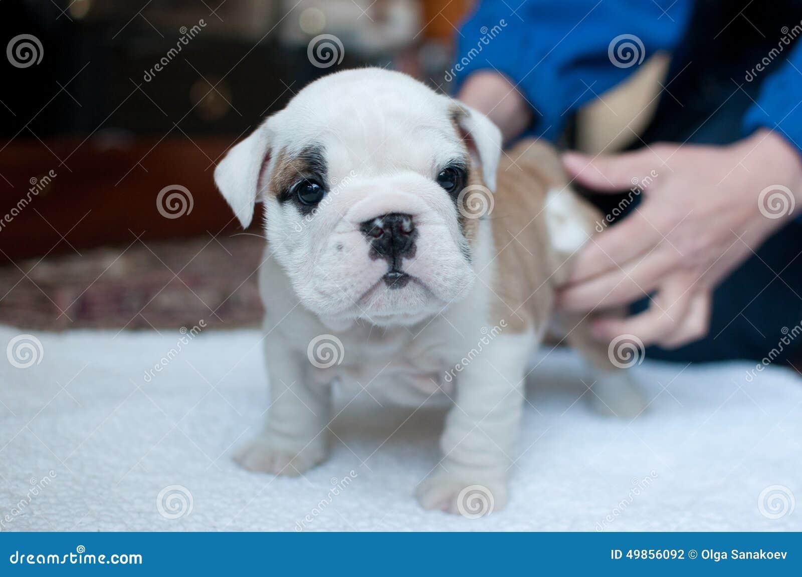 Engelsk valpwhite för bulldogg