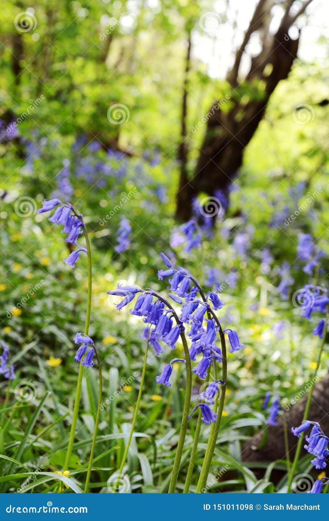 Engelska blåklockor på en bank av lösa blommor