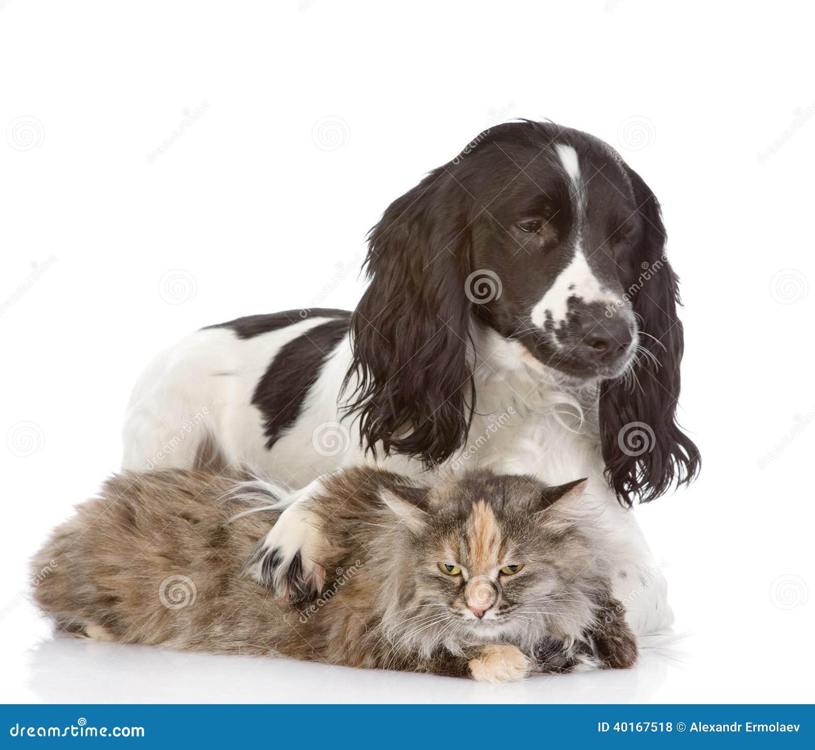 Englisch-Cocker spaniel-Hund umfasst eine Katze.