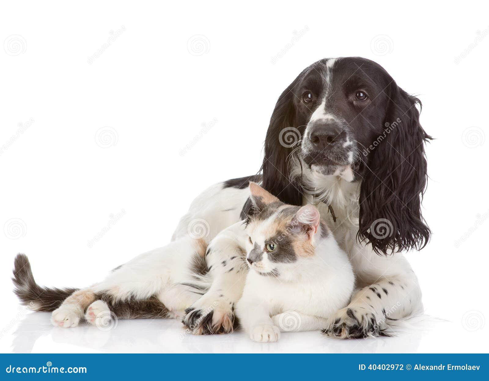 Englisch-Cocker spaniel-Hund und -katze liegen zusammen.