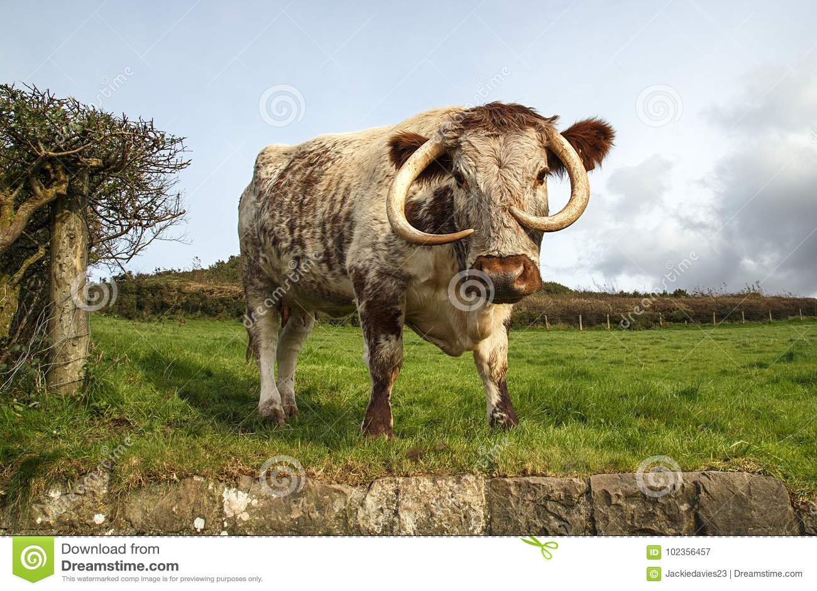 Englisch-Longhorn-Vieh