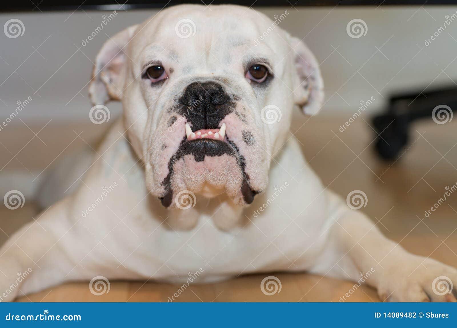 Englische bulldogge stockfotografie bild 14089482 for Bouledogue inglese