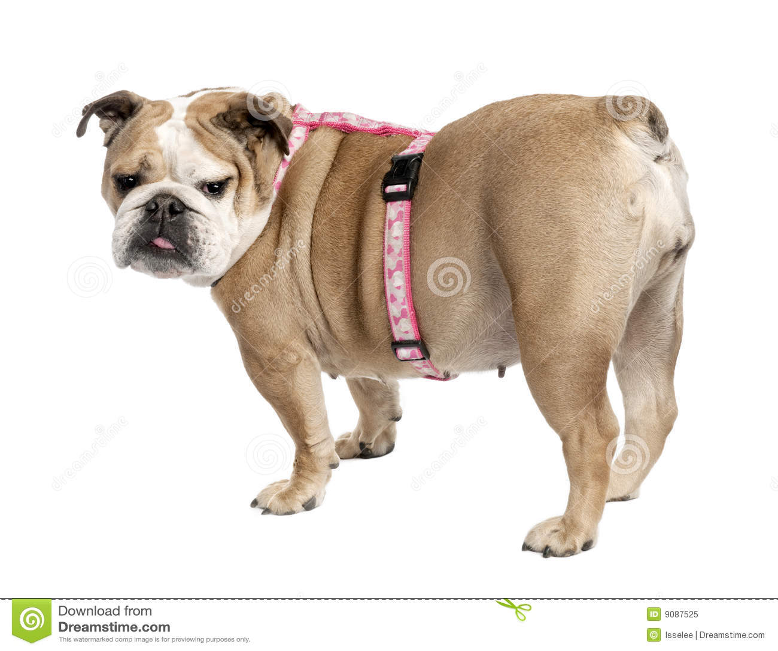 Englische Bulldogge (7 Jahre alt)