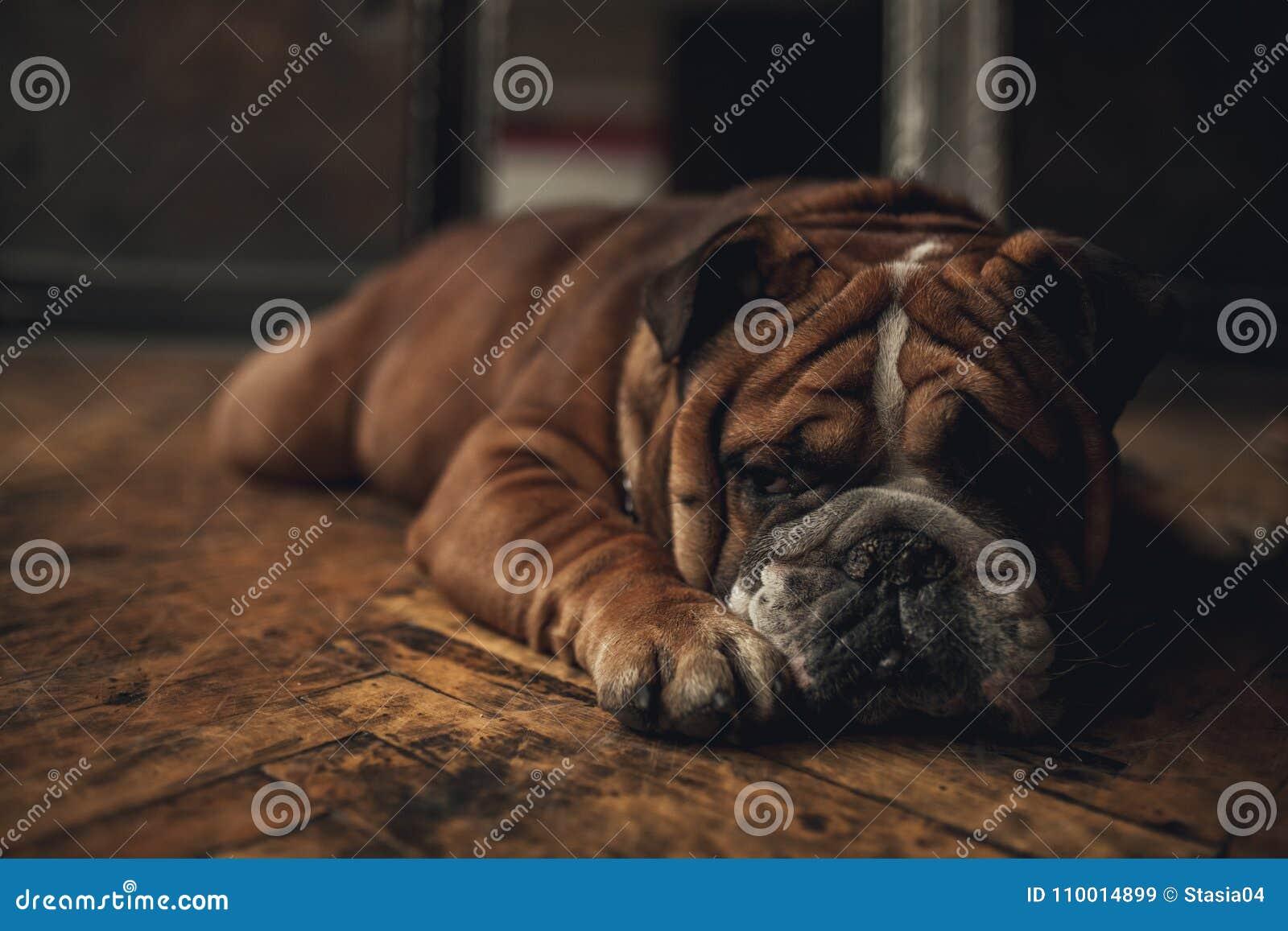 Fußboden In Englisch ~ Englische bulldogge der hunderasse liegt auf altem boden nahaufnahme